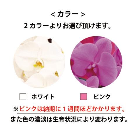 胡蝶蘭 3本立ちイメージ
