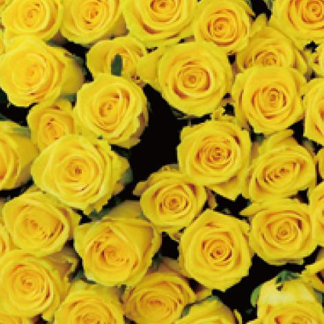 【R-01】100本特別割引 4色から選ぶバラの花束(黄色)